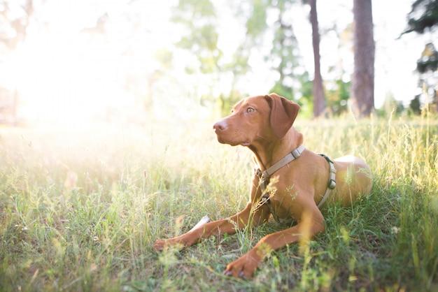 Ritratto di un cane che giace nel bosco su un prato in una soleggiata giornata estiva e guarda al lato.