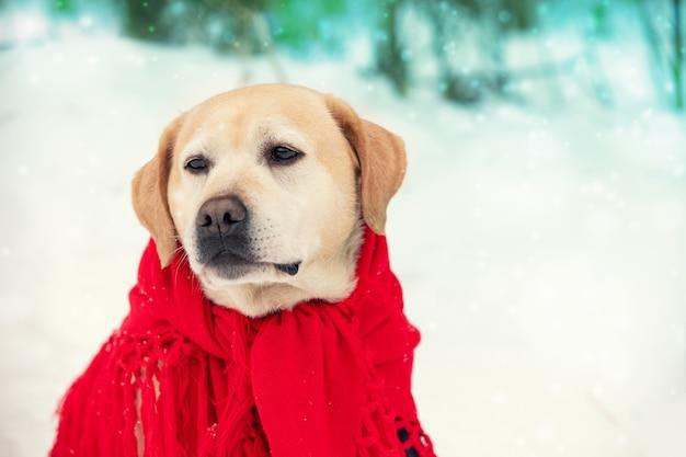 Ritratto di un cane avvolto in uno scialle rosso e seduto all'aperto in inverno nevoso
