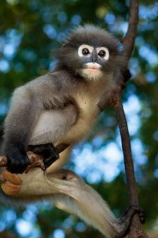 Ritratto della scimmia oscura del foglio nel parco della selva della tailandia