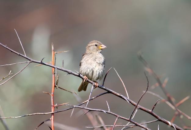 Un ritratto di una femmina di passera sarda o willow sparrow (passer hispaniolensis) è girato su un ramo
