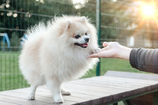 Ritratto di soffice cucciolo di piccolo pomerania tedesco sul parco giochi per cani. il piccolo cane spitz tedesco bianco e divertente dà la zampa durante una passeggiata nella natura, all'aperto. concetto di amore per gli animali domestici. copia spazio per il sito
