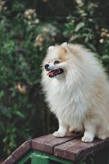 Ritratto di soffice cucciolo di piccolo pomerania tedesco sul parco giochi per cani. bianco divertente piccolo cane spitz tedesco che gioca a piedi nella natura, all'aperto. concetto di amore per gli animali domestici. copia spazio per il sito