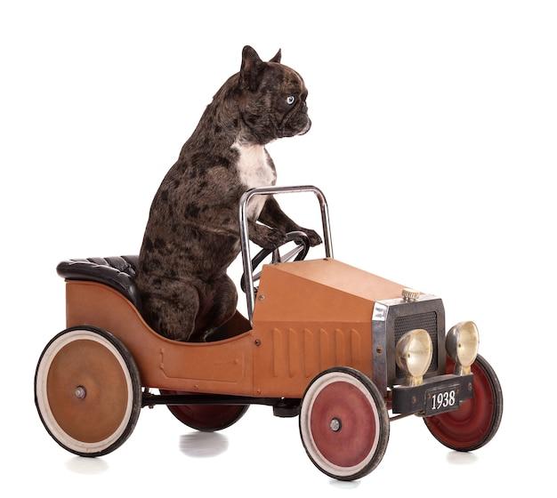 Ritratto di un bulldog francese in un'auto d'epoca su sfondo bianco
