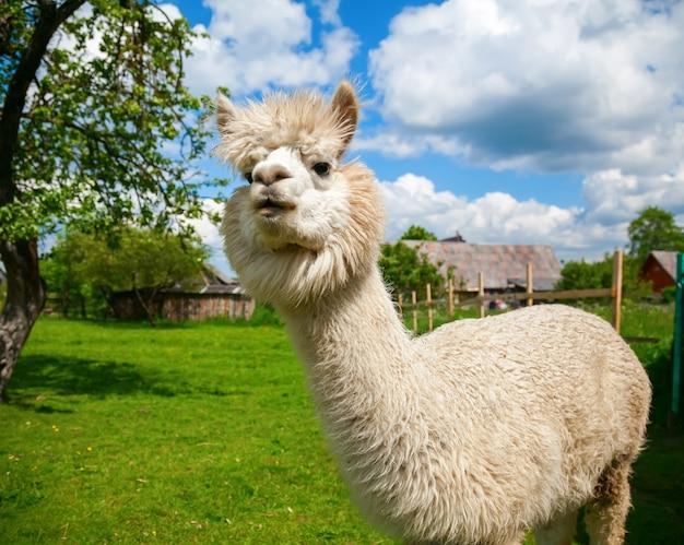 Ritratto dell'alpaca bianco carino divertente