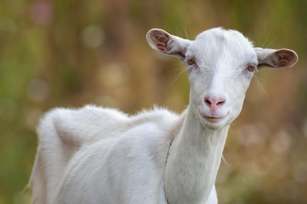Ritratto di una capra divertente alla ricerca di una fotocamera. avvicinamento