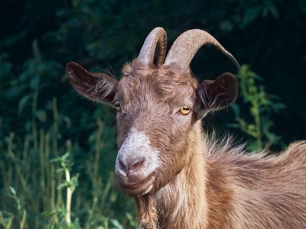 Ritratto di una capra divertente con le corna