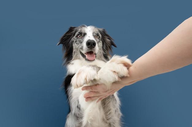 Ritratto divertente alto cinque border collie cane trucco. concetto di obbedienza. isolato sulla superficie blu