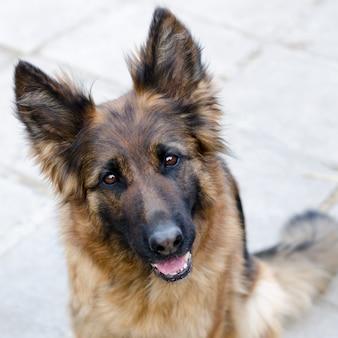 Ritratto di cane pastore tedesco foto di testa di cane