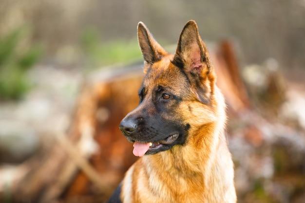 Ritratto di un pastore tedesco in un parco. cane di razza.