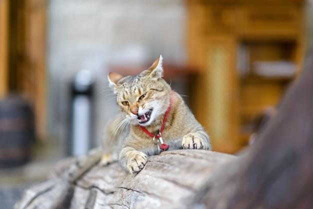 Ritratto di un gatto zenzero. il gatto è seduto su un tronco di legno. il gatto sorride in modo predatorio e fa l'occhiolino al telaio.