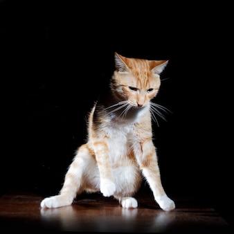 Gatto soriano dello zenzero ritratto su un tavolo di legno, postura incerta