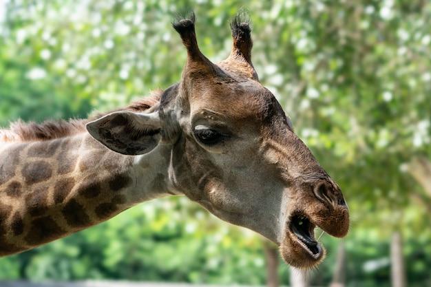 Ritratto di una giraffa sullo sfondo verde della natura.