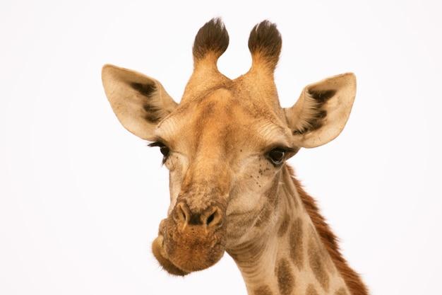 Ritratto di una giraffa isolata su bianco