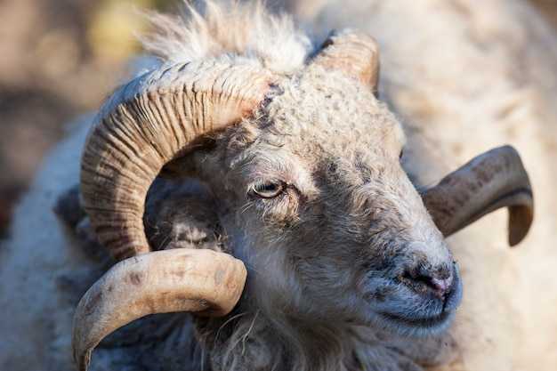 Ritratto di capra nella luce del mattino