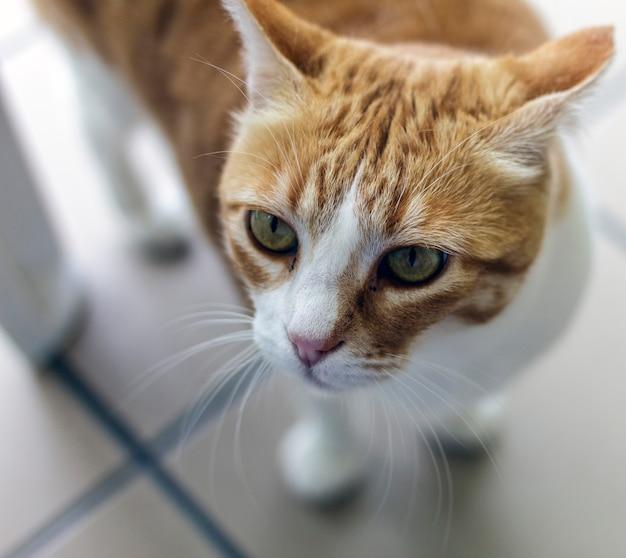 Ritratto di un gatto color oro con occhi verdastri