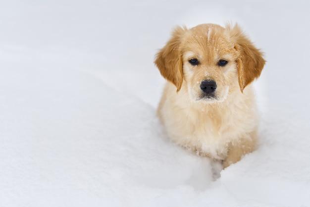 Un ritratto di un cane golden retriever nella neve invernale