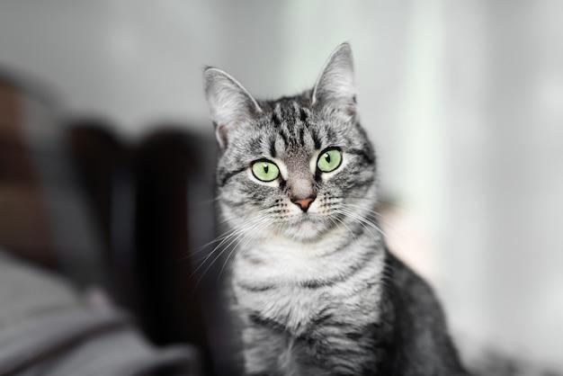 Ritratto di gatto grigio american shorthair con gli occhi verdi.