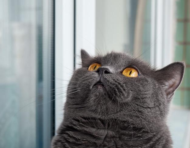 Ritratto di un gatto grigio da vicino.