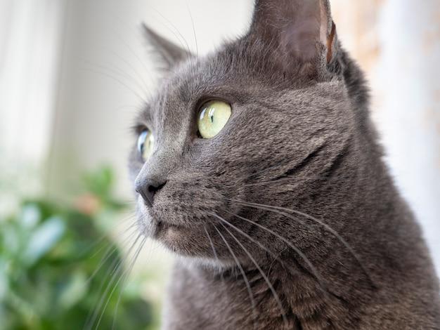 Ritratto di un gatto grigio della razza blu russa che guarda al lato. sfondo sfocato
