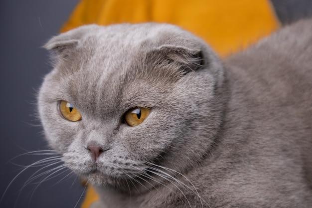 Ritratto di un gatto grigio scottish fold