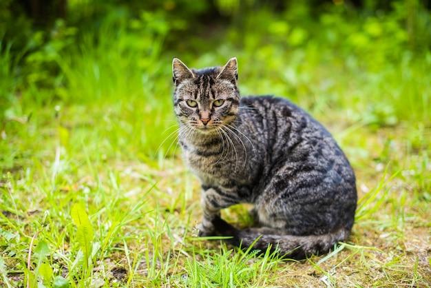 Ritratto di un gatto soriano grigio con lunghi baffi. gatto sull'erba verde
