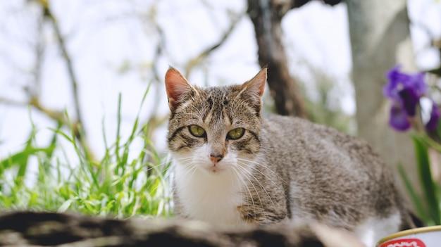 Ritratto del gatto grigio e bianco che si trova giù.