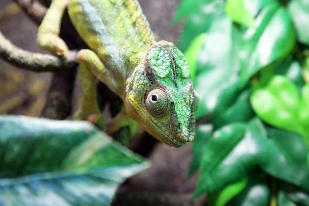 Ritratto di un primo piano camaleonte verde