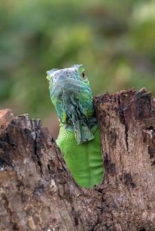 Ritratto di un'iguana verde dai colori vivaci