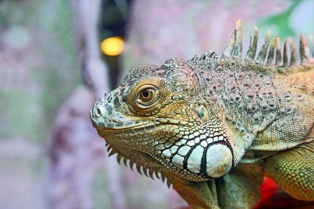 Ritratto del primo piano dell'iguana verde