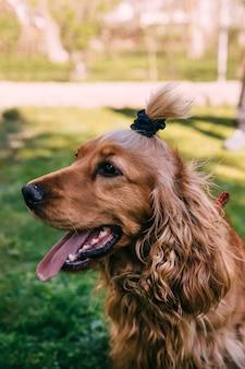 Ritratto di felice marrone carino cocker spaniel cucciolo con erba sfondo bokeh di fondo.