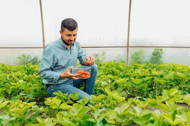 Ritratto di un giardiniere maschio allegro felice che raccoglie fragole fresche in serra con una scatola di plastica trasparente di fragole fresche agroalimentare e persone