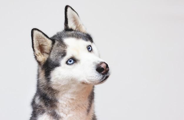Ritratto felice emozione cane husky. colore bianco e nero del husky siberiano con gli occhi azzurri.