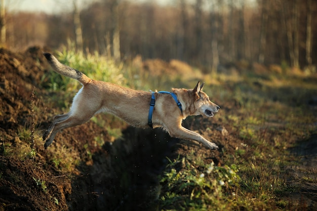 Il ritratto del cane bastardo dai capelli rossi felice salta sopra il fosso.
