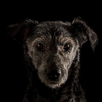 Ritratto della testa e del viso di un cane terrier con un'espressione attenta che guarda direttamente la telecamera fuori dall'ombra.