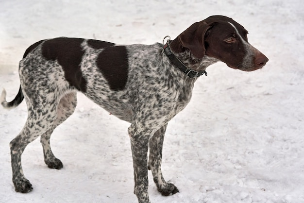 Ritratto di cane da caccia setter pointer kurzhaar in mezzo alla neve, vicino