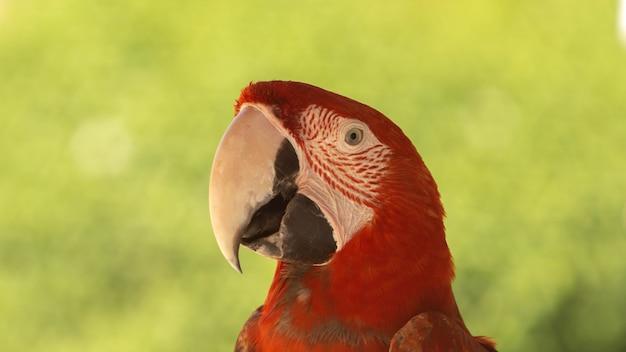 Ritratto di un'ara rossa incredibilmente bella, giorno d'estate