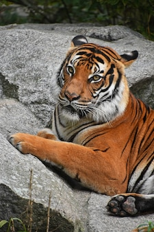 Ritratto della tigre indocinese che riposa sulle rocce
