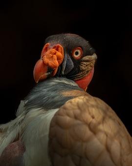 Ritratto di un avvoltoio reale sotto le luci isolate su uno sfondo nero Foto Premium