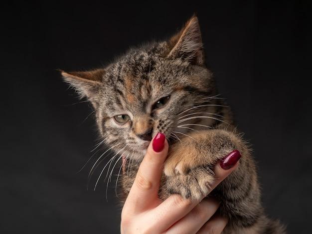 Ritratto di un gattino che si siede sulle sue braccia e guarda in lontananza