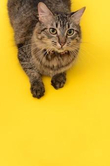 Ritratto di gattino su sfondo giallo