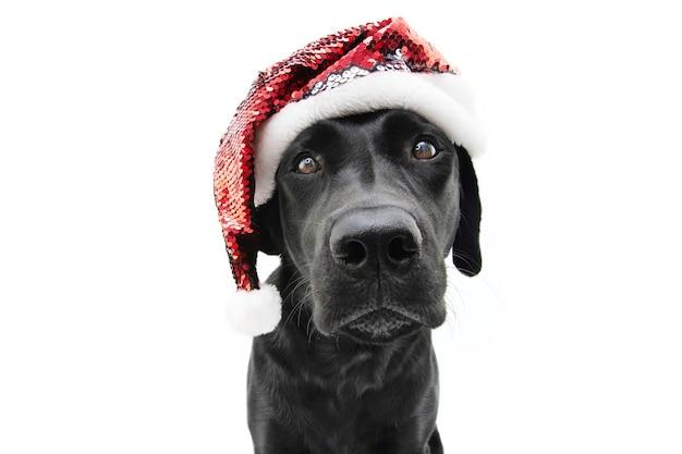 Ritratto di cane labrador natale con un cappello rosso di babbo natale. isolato.
