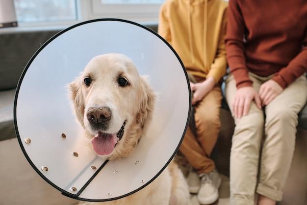 Ritratto di labrador in collare medico presso la clinica veterinaria con i suoi proprietari sullo sfondo