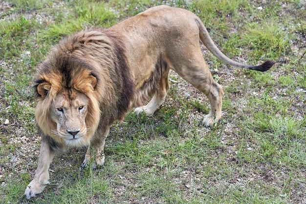 Ritratto di un grande leone africano su uno sfondo di erba