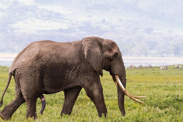 Ritratto di grande elefante con una zanna molto grande. ngorongoro, tanzania
