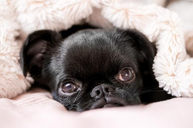 Ritratto di posa in un letto cucciolo di cane nero petit brabanson griffon viso carino con grandi occhi a sfondo coperta rosa chiaro close up