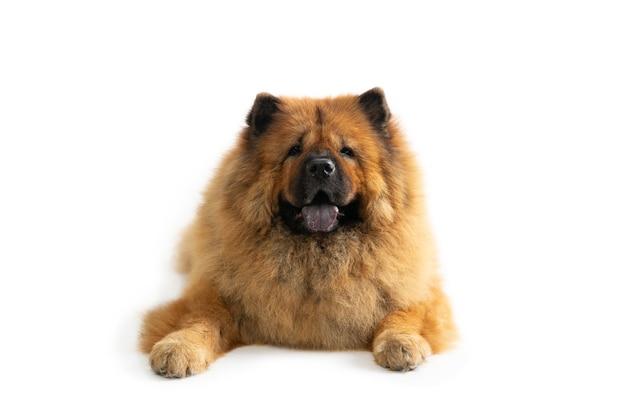 Ritratto di lazy chow chow cane seduto sul pavimento con la linguetta sporgente isolato su bianco