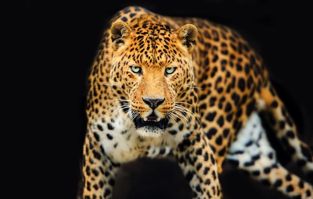 Ritratto di leopardo con occhi intensi su sfondo nero