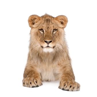 Ritratto di cucciolo di leone, panthera leo, seduto