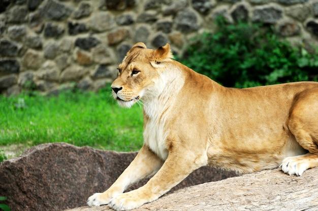 Un ritratto di una leonessa che si rilassa sull'erba