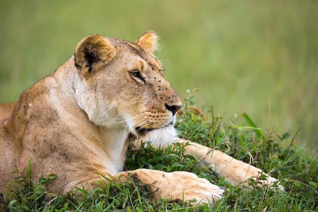 Il ritratto di una leonessa, si trova nell'erba nella savana